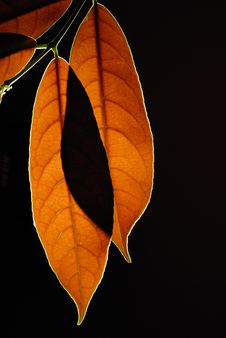 Free Leaves Royalty Free Stock Photos - 15315548