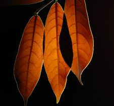 Free Leaves Stock Photography - 15315552