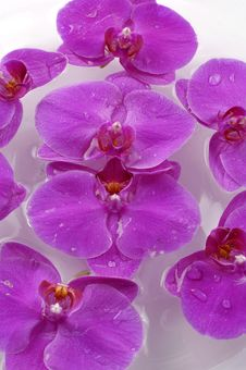 Free Orchid Stock Photography - 15316442