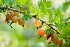Free Gooseberry Royalty Free Stock Image - 15316976