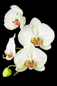 Free White Phalaenopsis Stock Images - 15317264