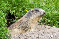 Free Marmot In The Alps Royalty Free Stock Images - 15317279