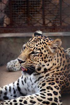 Free Leopard Royalty Free Stock Photography - 15317787