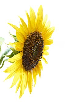 Free Sunflower Royalty Free Stock Photos - 15318518