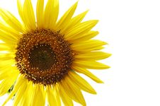 Free Sunflower Royalty Free Stock Image - 15319186