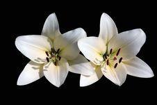 Free Two  White Lilies Royalty Free Stock Photo - 15319965