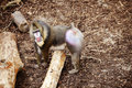 Free Mandrill Monkey Stock Photography - 15324452