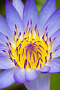 Free Purple Water Lily Royalty Free Stock Image - 15325616