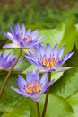 Free Purple Water Lily Royalty Free Stock Photography - 15325647