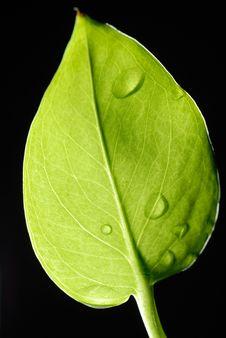 Free Leaf Royalty Free Stock Photos - 15320288