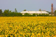Big Blossom Of Sunflower Stock Photography