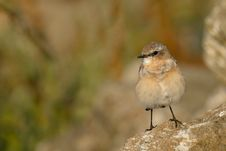 Free Brown Little Bird Royalty Free Stock Photography - 15321047