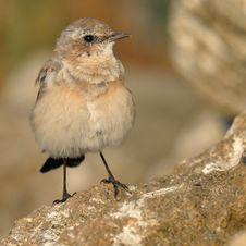 Free Little Brown Bird Royalty Free Stock Photos - 15321058