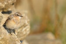 Free Little Brown Bird Stock Photos - 15321063