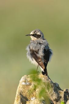 Common Wheatear Royalty Free Stock Images