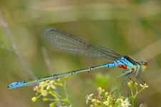 Free Blue Dragon Fly Stock Image - 15321091