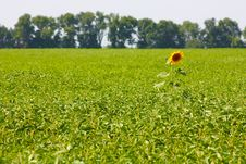 Big Blossom Of Sunflower Stock Images