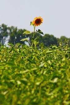Big Blossom Of Sunflower Royalty Free Stock Photos