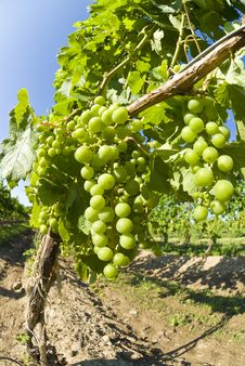 Free Unripe Merlot Grapes In A Vineyard Royalty Free Stock Images - 15322639
