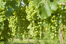 Free Unripe Merlot Grapes In A Vineyard Royalty Free Stock Image - 15322696