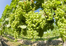 Free Unripe Merlot Grapes In A Vineyard Stock Photography - 15322722