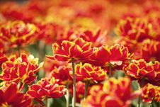 Free Vibrant Tulips Royalty Free Stock Photo - 15322995