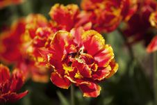 Free Vibrant Tulips Royalty Free Stock Images - 15323039