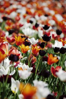 Free Colorful Tulips Stock Photos - 15323433