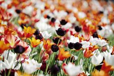 Free Colorful Tulips Royalty Free Stock Photo - 15323485