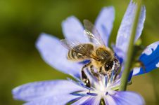 Free Bee On Flower Stock Images - 15324514