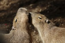 Free Capybaras Courting Royalty Free Stock Photography - 15324797