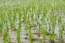 Rice Seedlings In A Wet Paddy Field In Thailand. Royalty Free Stock Photo