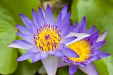 Free Purple Water Lily Stock Photo - 15325670