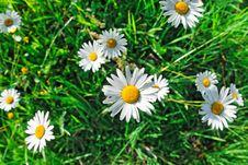 Free Daisy Flowers Closeup Royalty Free Stock Image - 15326046