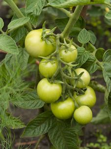 Free Green Tomatoes Royalty Free Stock Images - 15326939