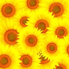 Free Sunflowers Stock Photo - 15327110