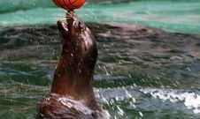 Seal Playing With Her Ball Royalty Free Stock Photos