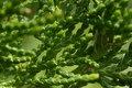 Free Evergreen Stock Photo - 15331930