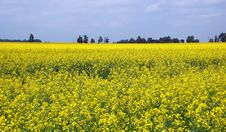 Free Rape Field Stock Images - 15330744
