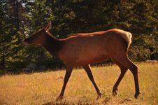 Free Elk Stock Images - 15331244