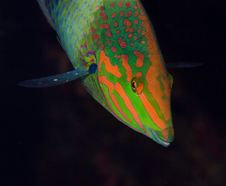 Free Moontail Wrasse Fish Royalty Free Stock Photo - 15332125
