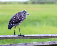An Immature Yellow-crowned Night Heron Stock Images