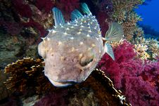Free Burrfish With Nice Corals Royalty Free Stock Images - 15332219