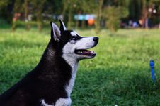 Free Husky Royalty Free Stock Images - 15332239