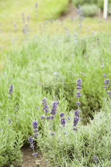 Free Lavender Royalty Free Stock Photos - 15332278