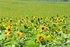 Free Sunflowers Field Royalty Free Stock Photography - 15332357