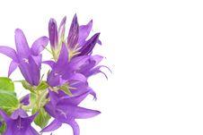 Free Blue Campanula Royalty Free Stock Images - 15332409
