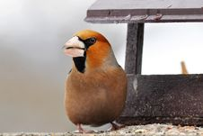 Hawfinch At Feeder Stock Photos