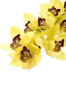Free Orchid Stock Photo - 15333750