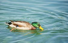 Free Duck Royalty Free Stock Image - 15335456